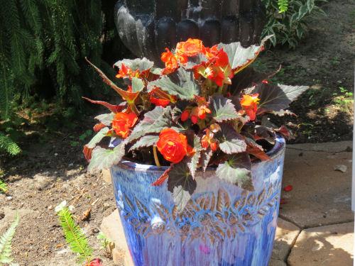 Mason County Garden Tour begonia in planter