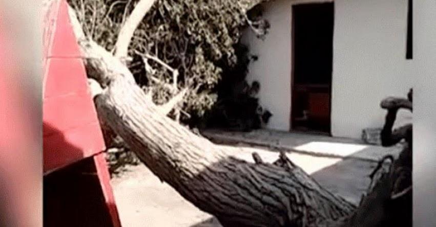 Denuncian negligencia por caída de un árbol en zona de juegos del colegio «Los Precursores» en Surco