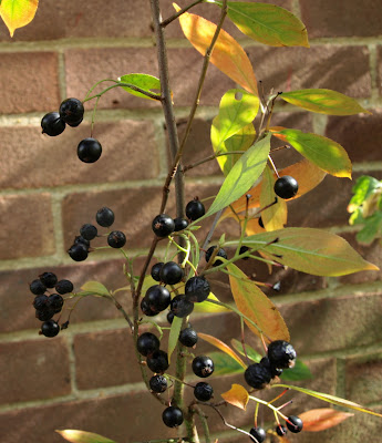 An image of a black chokeberry (Aronia melanocarpa) shrub