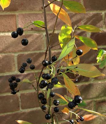 An image of a black chokeberry (Aronia melanocarpa) shrub