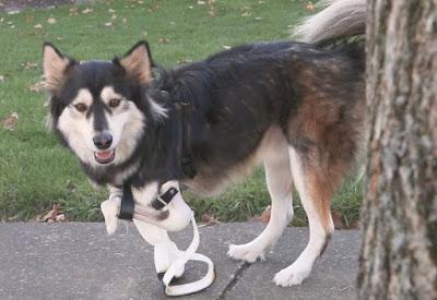 Derby prosthetic legs