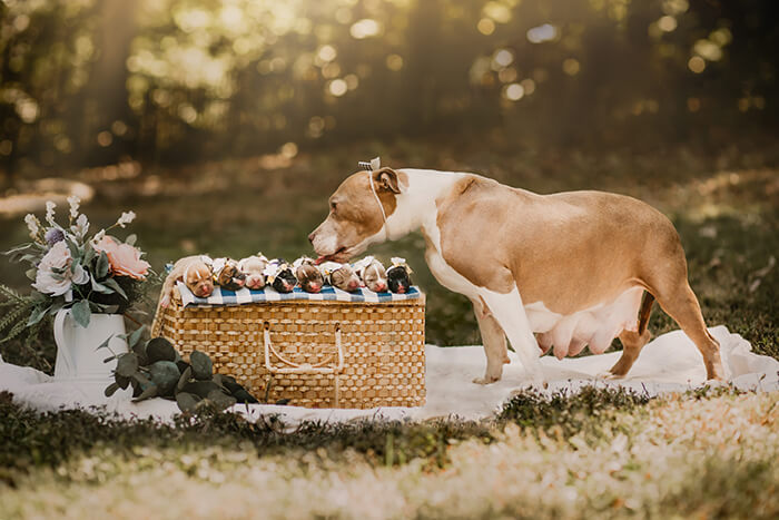 Pit Bull Got Her Own Maternity Photoshoot, And She Looks Stunning