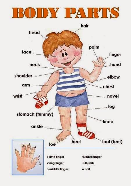 Recursos Sobre El Cuerpo Humano El Cuerpo Humano En Ingles