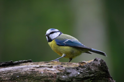 picture of a Blue tit