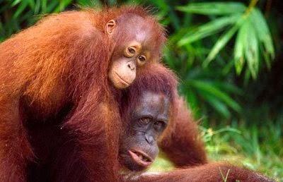 Gambar Flora Fauna Indonesia Orang Utan Kalimantan Macam Jenis Fauna Nusantara