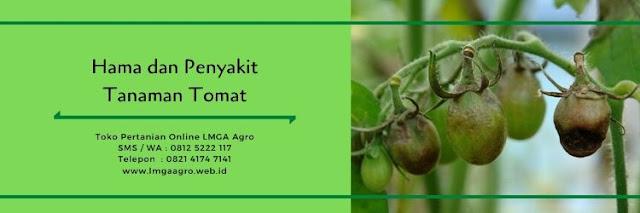 budidaya tomat,hama tanaman,penyakit tanaman,benih tomat,tanaman tomat,lmga agro