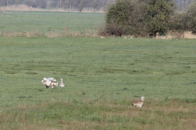 Großtrappen in den Belziger Landschaftwiesen