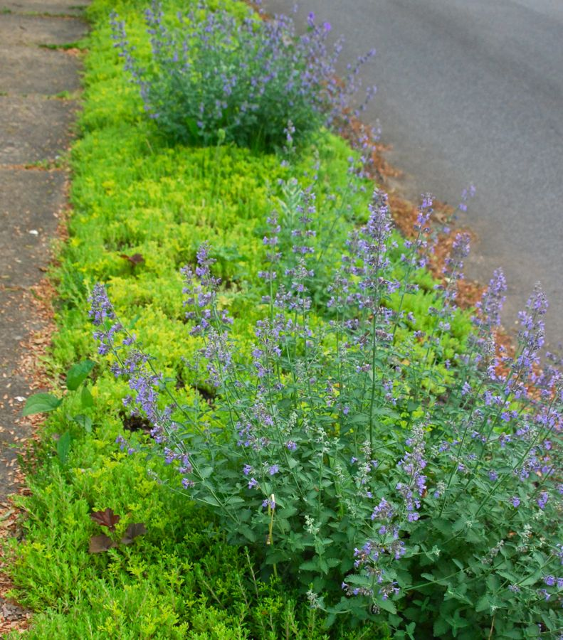 Catmint (Nepeta 'Walker's Low') grows low mounds in our curb strip over ground cover Sedum 'Acre'.