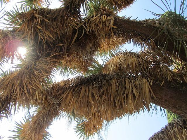 Yucca australis vista dal basso