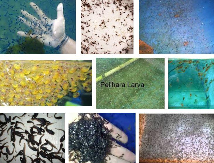 Pemeliharaan larva Ikan Lele