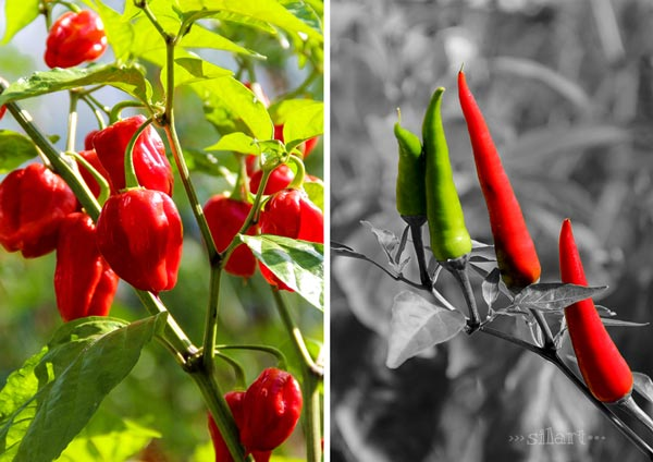 Red and spicy, Chili und Peperoni