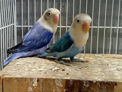 Pusing melihat teman di facebook upload lovebird anggun bagus Tips Sukses Untuk Peternak Pemula