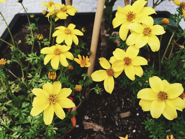Little, yellow, Bidens | www.thejoyblog.net