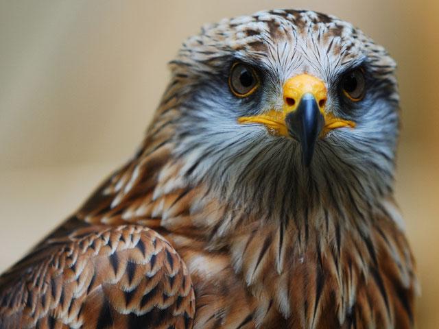 https://2.bp.blogspot.com/-c4dPeA5yGKE/VjJqurvBZ-I/AAAAAAAAGm8/anwjY-3OA_4/s1600/Hawk-Bird-Pictures.jpg