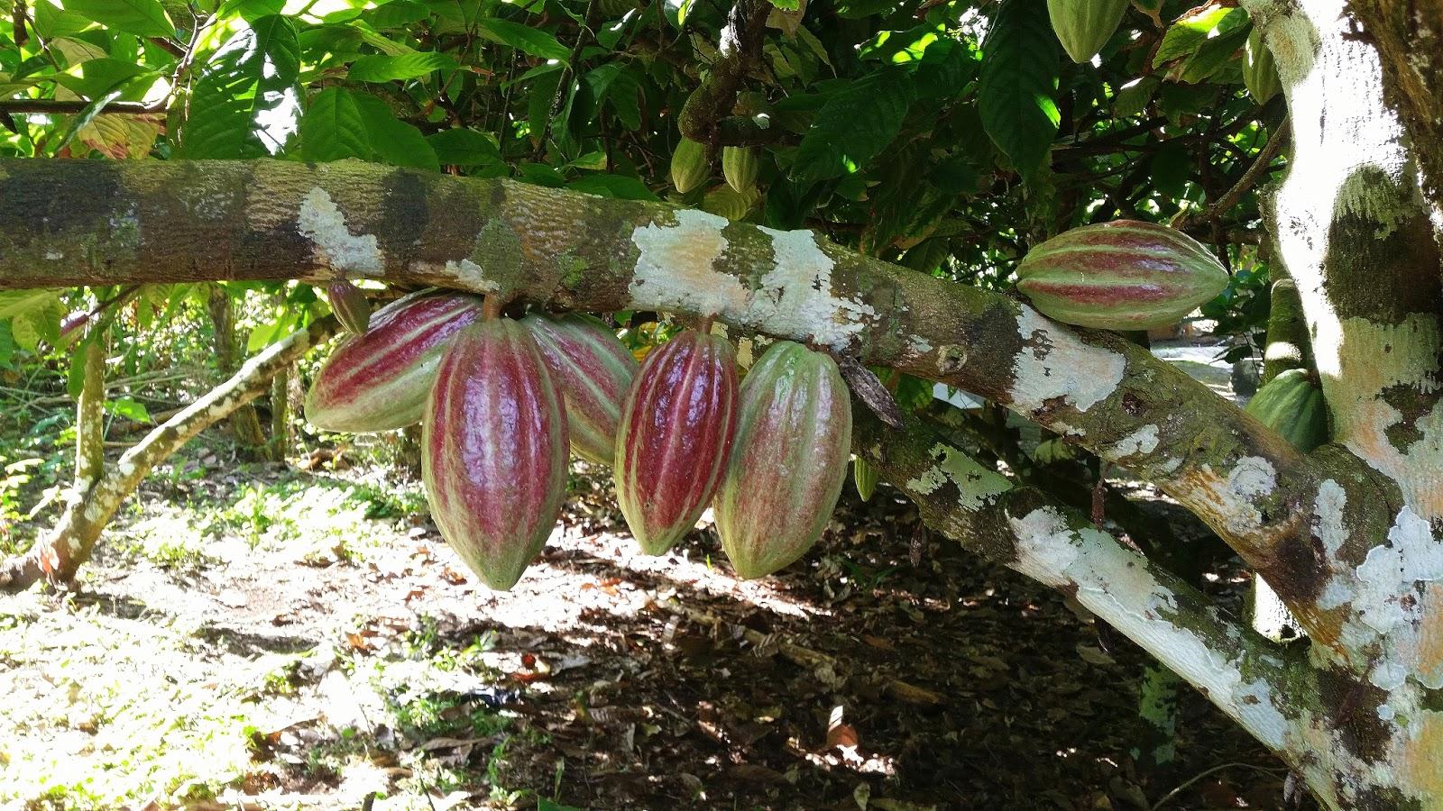 Dominikana Kakaowiec