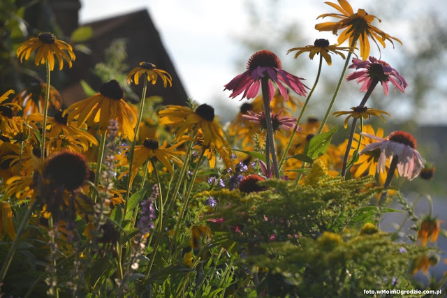 jezowka purpurowa rudbekie w ogrodzie