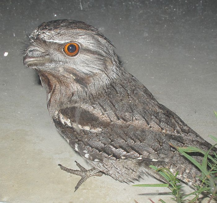 Esperance Fauna Tawny Frogmouth Podargus Strigoides