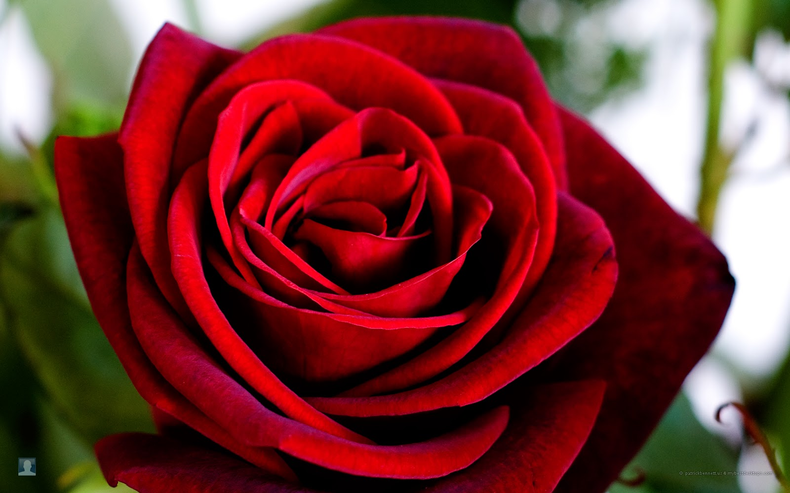 rose wallpapers best - photo #6