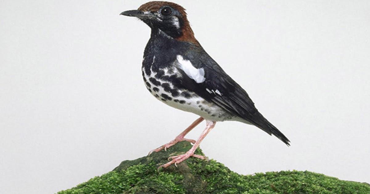 Harga Burung Anis Kembang Trotolan Bakalan Jantan Gacor