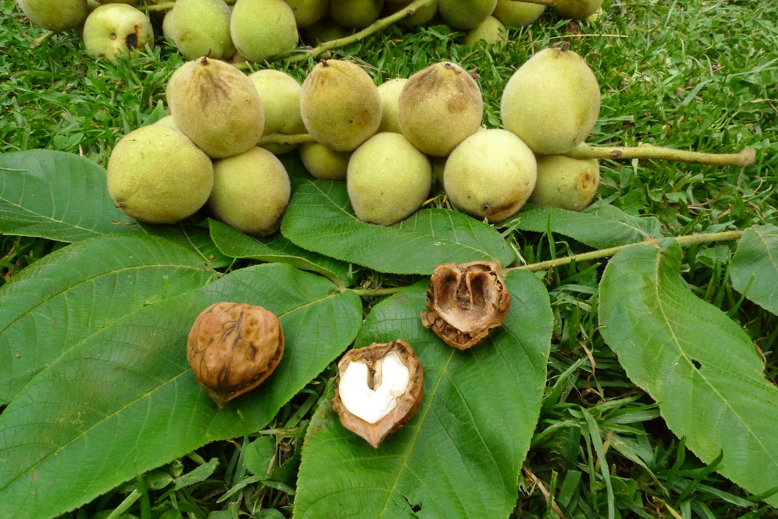 Walnut Identification Images - Reverse Search