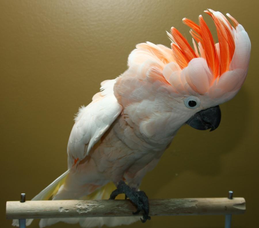 Galah Cockatoo Full Profile, History, And Care