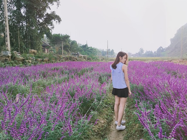 Lavender harvest season in Lao Cai 4