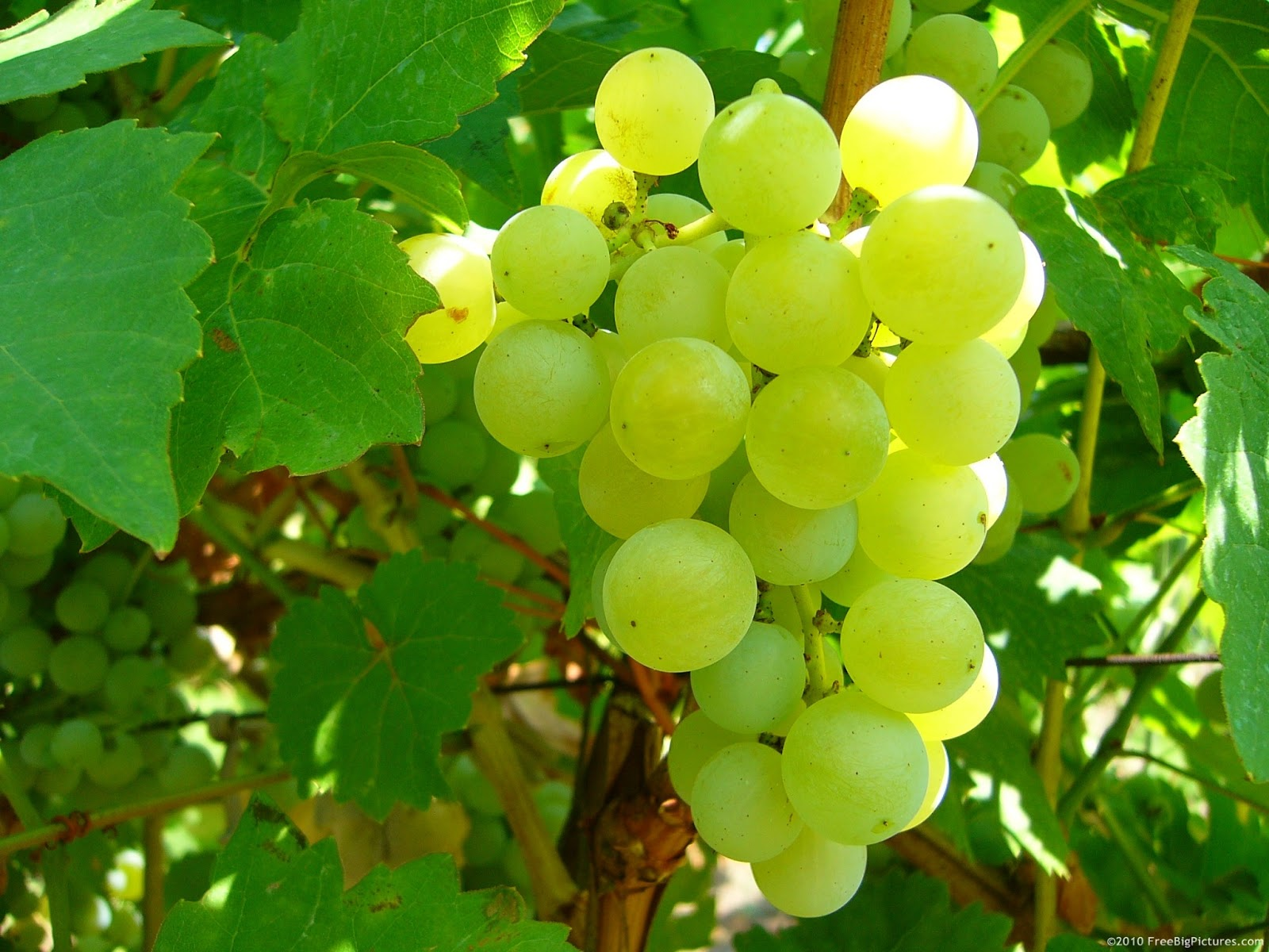 behind the french menu the fabulous table grapes of