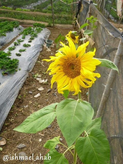 Sunflower in Strawberry Farm in La Trinidad, Benguet