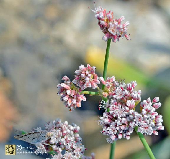 Nude Buckwheat, Eriogonum nudum