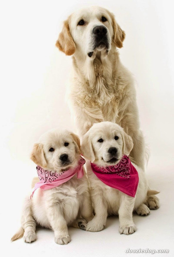 I want all these golden retrievers! ♥ | Pet Photography | Dogs | Puppies | | Golden Retriever | Family Photo Session Idea