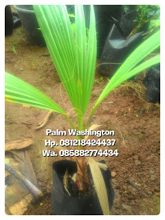 Kami tukang Taman minimalis menjual bibit anakan pohon palm Washington harga jual paling murah