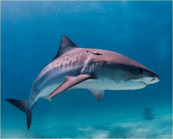 Tubarão Tigre | Características Gerais do Tubarão Tigre (Galeocerdo cuvier)
