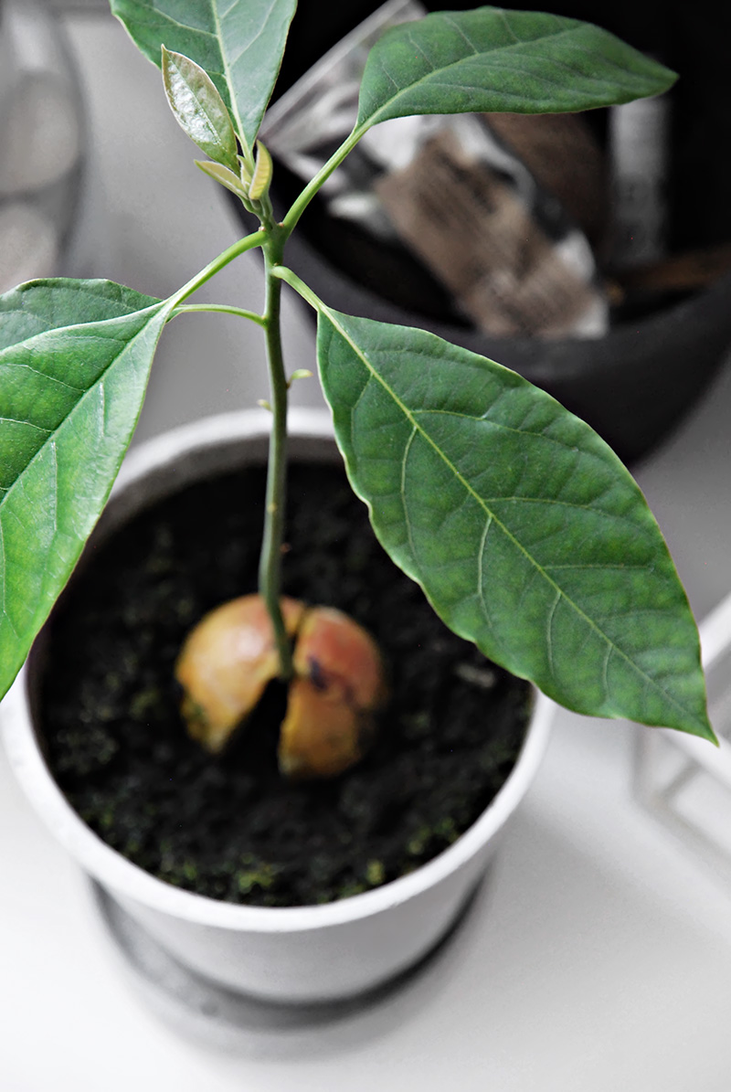 my avocado trees a tale of growth only deco love. Black Bedroom Furniture Sets. Home Design Ideas