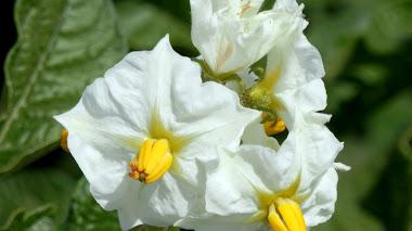 Las flores del Solanum tuberosum