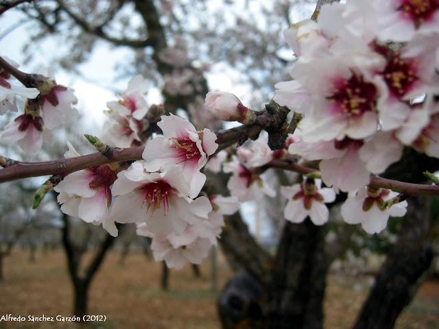 flor-almendro-torrebaja-valencia