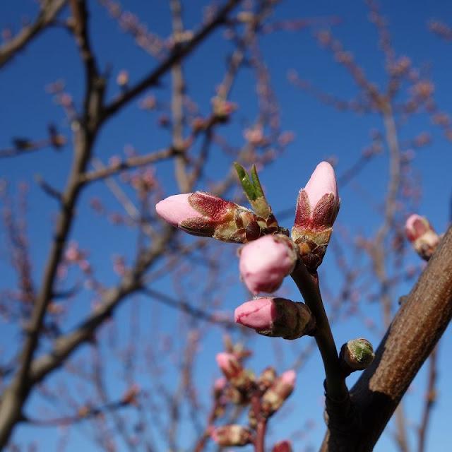Mandelbaum-Mandelbaumknospen-fruehling-April