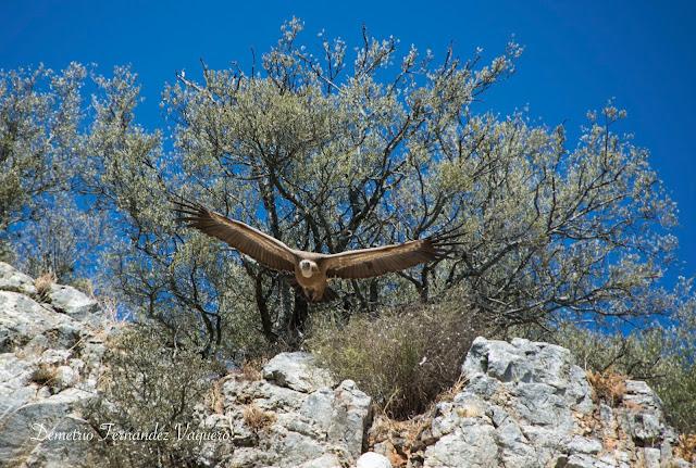 buitre leonado en Monfragüe