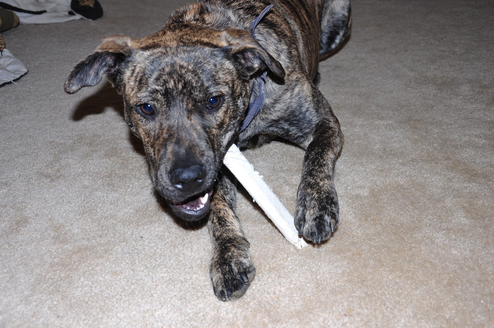 Dogs Vomiting Halo Food