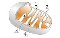 ما هي الميتوكوندريا - (تعريف - عدد - وظيفة - مكونات)