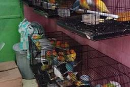 Daftar harga grosir lovebird murah di Dapit Labet Sidoarjo