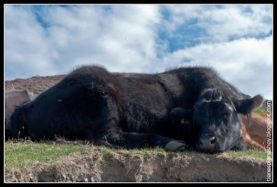 Vaca (Escocia)