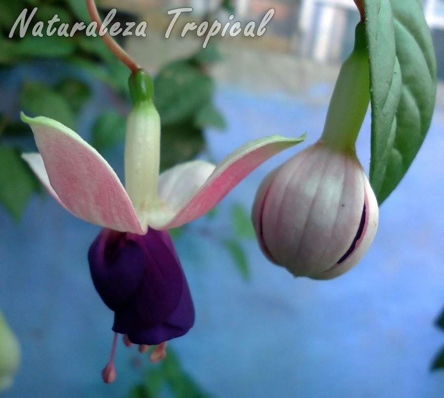 Flor con sépalos blancos y numerosos pétalos morados de una Fuchsia, Pendientes de la Reina o Fucsia