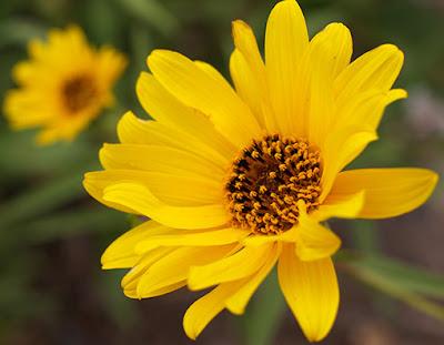 Flores amarilla de la aguaturma (Helianthus tuberosus)
