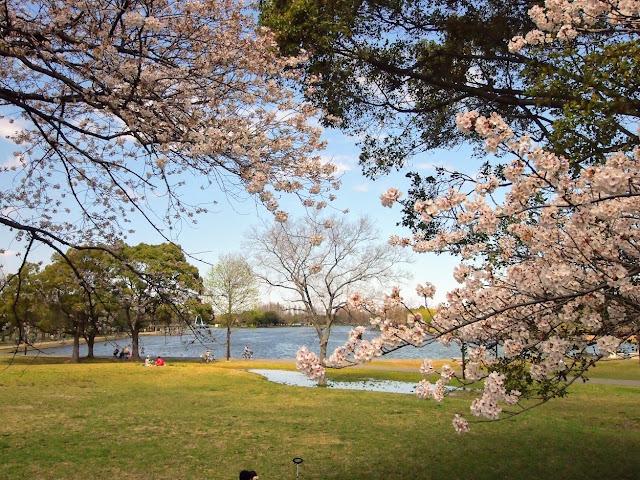 水元公園 桜