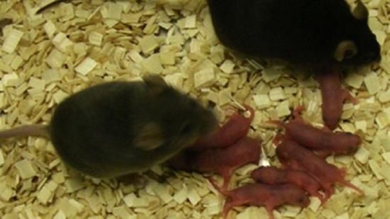 Laporan Penelitian Hidup Tanpa Ibu, Bayi Tikus Lahir Sehat Tanpa Pembuahan Sel Telur