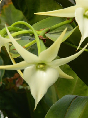 Angraecum spp. Orchid at the Allan Gardens Conservatory by garden muses-not another Toronto gardening blog