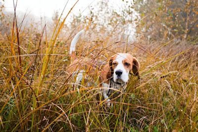 Hunting dogs travel long distances. So how do you know a hunting dog is not lost, on the job -- or abandoned?