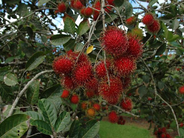 Nephelium lappaceum frutti