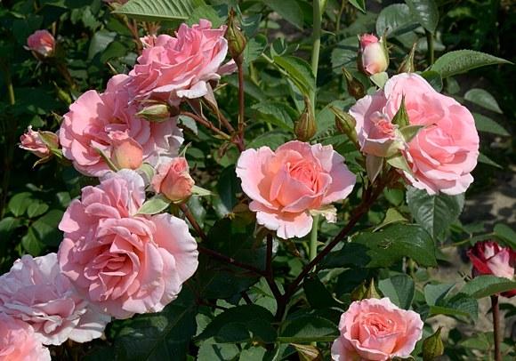 Dream Weaver сорт розы фото купить саженцы питомник Минск каталог