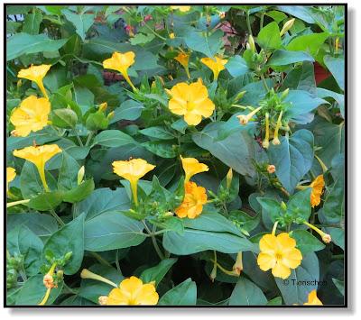 Wunderblumen